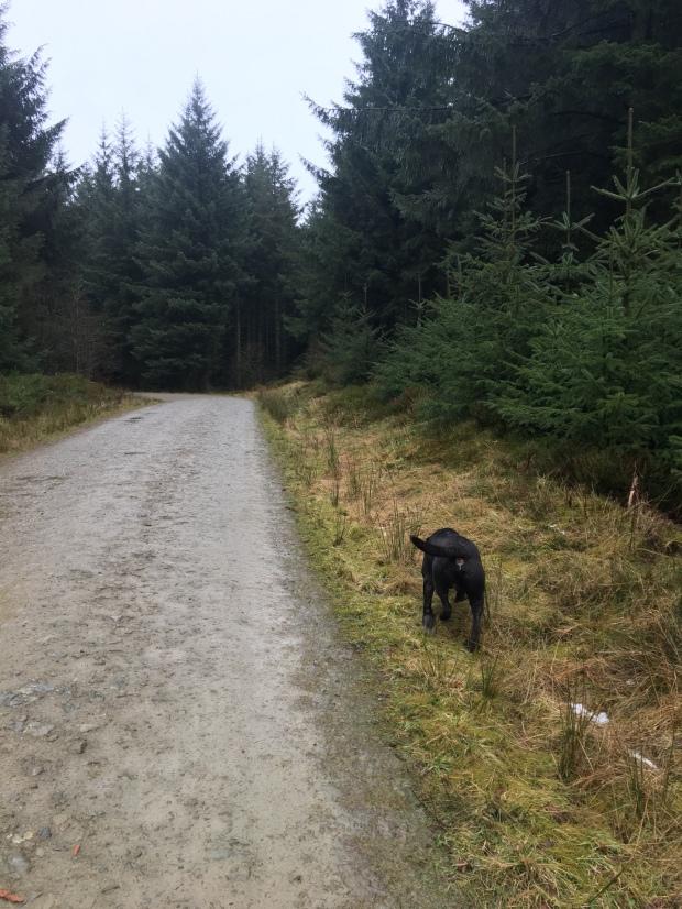 Dog Walking in Llandegla Forest