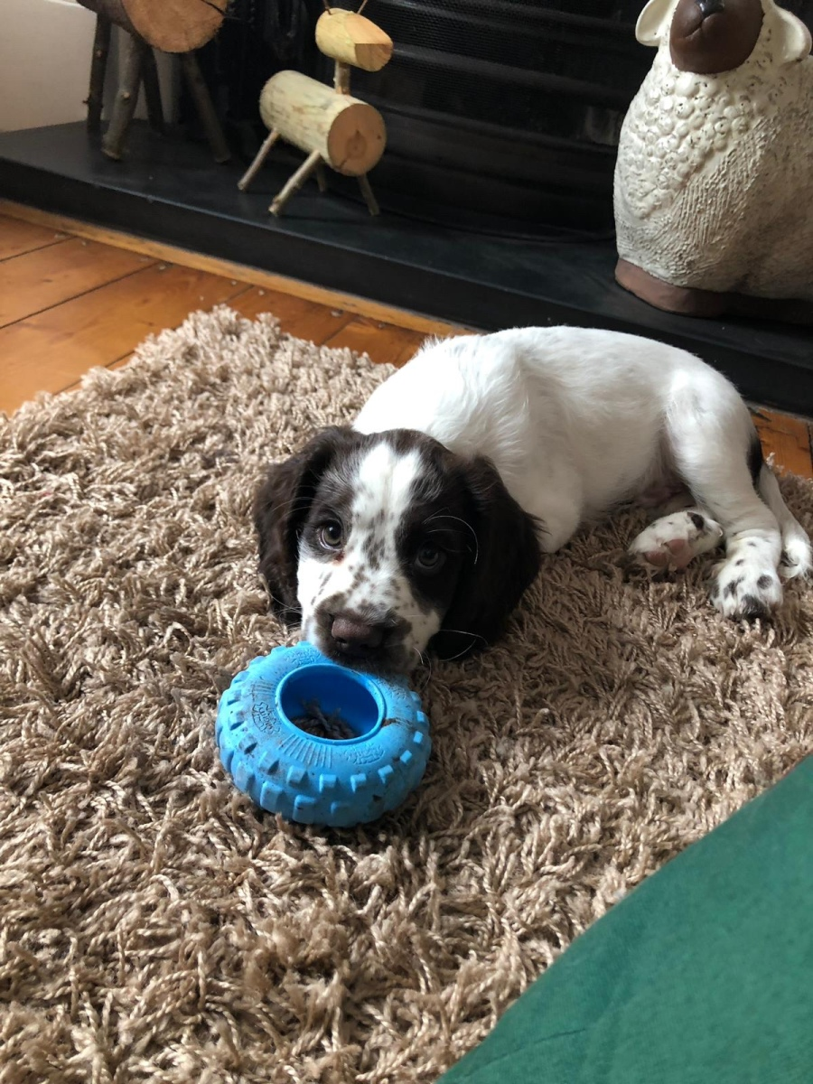 Sprocker Spaniel Puppy